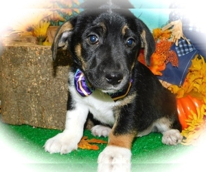 Jack Russell Terrier Mix Puppy for Sale in HAMMOND, Indiana USA