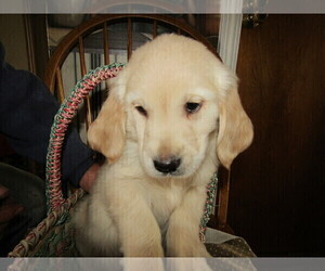 English Cream Golden Retriever Puppy for sale in MESKEGON, MI, USA