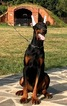 Doberman Pinscher Puppy For Sale in CHURCH STREET, NY, USA