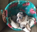 Australian Shepherd Puppy For Sale in MITCHELL, IN, USA