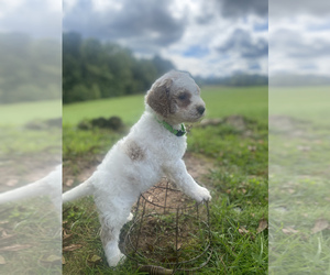 Goldendoodle Puppy for sale in CLINTONVILLE, WV, USA