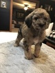 Labradoodle Puppy For Sale in COLS GROVE, Ohio,