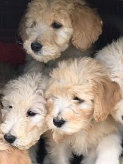 Goldendoodle Puppy For Sale in CORNING, CA