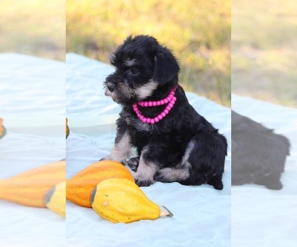 Medium Photo #1 Miniature Schnauzzie-Yorkshire Terrier Mix Puppy For Sale in PATASKALA, OH, USA