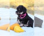 Small Miniature Schnauzzie-Yorkshire Terrier Mix