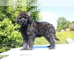 Small #46 Goldendoodle