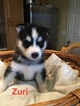Siberian Husky Puppy For Sale in UNION, Kentucky,