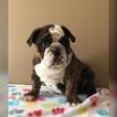 English Bulldog Puppy For Sale in MACON, Virginia,