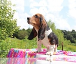 Small Photo #6 Basset Hound Puppy For Sale in UNION CITY, TN, USA