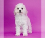 Puppy 11 Poodle (Toy)