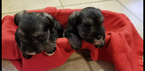 Adorable AKC Mini Schnauzer Puppies