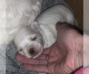 Maltese Puppy for sale in GROTTOES, VA, USA