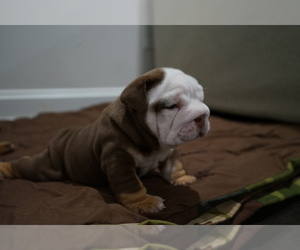 Bulldog Puppy for sale in SIMPSONVILLE, SC, USA