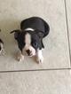 Boston Terrier Puppy For Sale in DUNEDIN, FL, USA