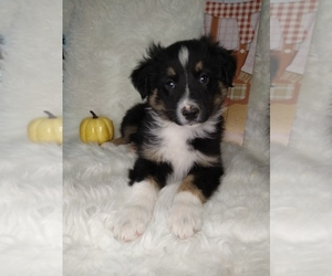 Australian Shepherd Puppy for sale in INDIANAPOLIS, IN, USA