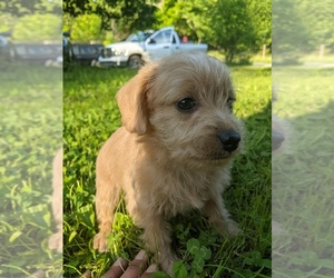 Poodle (Toy)-Schnauzer (Miniature) Mix Puppy for sale in SPENCER, TN, USA