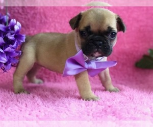 French Bulldog Puppy for sale in CLAY, PA, USA