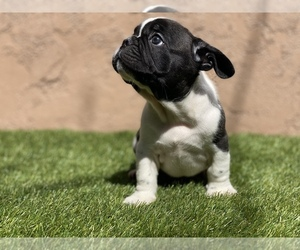 French Bulldog Puppy for sale in SOUTH GATE, CA, USA