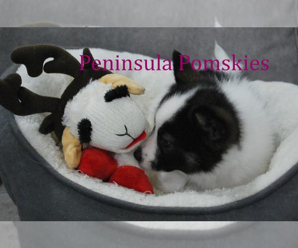 Medium Photo #6 Pomsky Puppy For Sale in SEQUIM, WA, USA