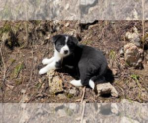 Karelian Bear Dog Puppy for Sale in ANACONDA, Montana USA