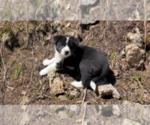 Puppy 1 Karelian Bear Dog