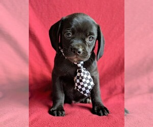 Puggle Puppy for sale in LANCASTER, PA, USA