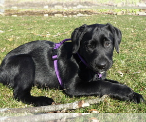 Labrador Retriever Dog for Adoption in ALGONQUIN, Illinois USA