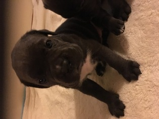 Cane Corso Puppy For Sale in BELLEVILLE, IL