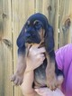 Bloodhound Puppy For Sale in DEARING, GA