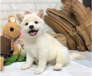 View Ad Shiba Inu Puppy For Sale Near California San Jose Usa Adn 146010