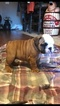 Bulldog Puppy For Sale in NASHVILLE, IN