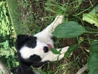 ABCA Reg Border Collie Pups