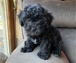 Puppy 3 Lhasa Apso-Poodle (Standard) Mix