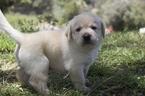 Labrador Retriever Puppy For Sale in VISTA, CA, USA