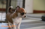 Chihuahua Puppy For Sale in Warsaw, Mazovia, Poland