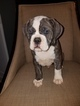 Olde English Bulldogge Puppy For Sale in PHILADELPHIA, PA