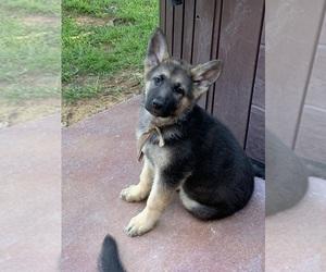German Shepherd Dog Puppy for sale in COVINGTON, TX, USA