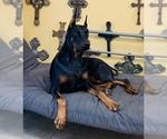Doberman Pinscher Puppy For Sale in ORLANDO, FL, USA