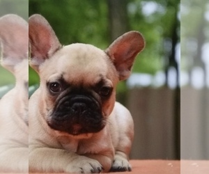 French Bulldog Puppy for Sale in STATEN ISLAND, New York USA