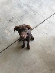 Huskimo-Labrador Retriever Mix Puppy For Sale in MIDLAND, TX, USA