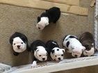 English Bulldogge Puppy For Sale in MENIFEE, CA, USA