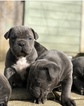 Cane Corso Puppy For Sale in GRESHAM, OR, USA