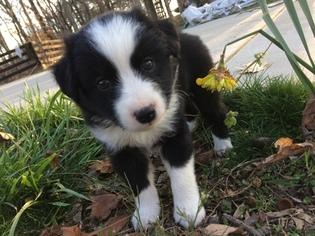 Miniature Australian Shepherd Puppy For Sale in TRENTON, GA