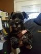 Schnauzer (Miniature) Puppy For Sale in WEST OLIVE, MI,