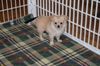 Chihuahua Puppy For Sale in IVA, SC, USA