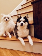 View Ad Pomsky Litter Of Puppies For Sale Near Massachusetts Dracut Usa Adn 60629