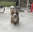 Miniature Australian Shepherd Puppy For Sale in MIDLOTHIAN, TX, USA