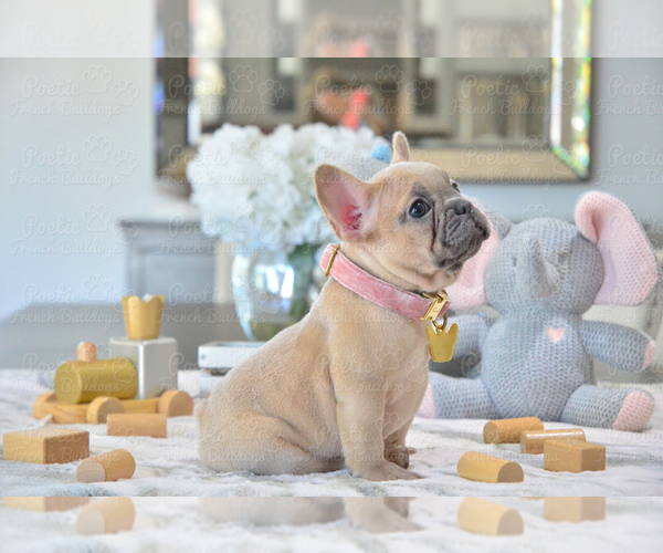 Medium Photo #3 French Bulldog Puppy For Sale in FORT LAUDERDALE, FL, USA