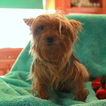 Yorkshire Terrier Puppy For Sale in GAP, Pennsylvania,