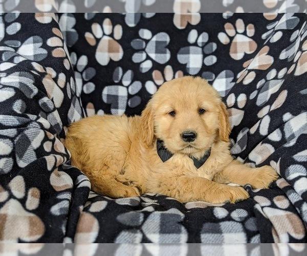 Medium Photo #5 Golden Retriever Puppy For Sale in OXFORD, PA, USA